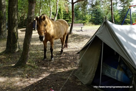 koń łasuch zagląda do namiotu