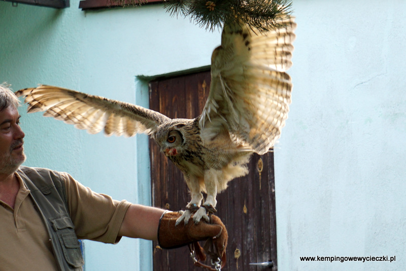 skrzydła puchacza bengalskiego