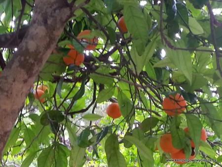 Jedyna atrakcja na kempingu to drzewko pomarańczowe, niestety owoce nie były smaczne.