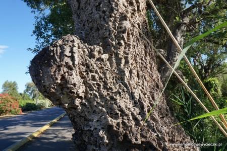 drzewa korkowe rosna przy drogach